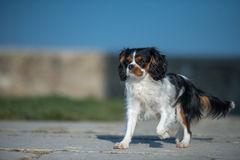 Cavalier King running. Cavalier King Charles Spaniel with white, brown and black hair, running in trot style Stock Image