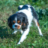 Cavalier King staring. Cavalier King Charles Spaniel with white, brown and black hair, standing on the grass and staring with menacing view Stock Photography