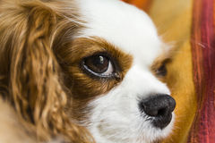 The cavalier king. The sweetest dog Cavalier King. A wonderful companion dog, squinty eyes give it a fun and special look Royalty Free Stock Photos