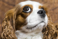The cavalier king. The sweetest dog Cavalier King. A wonderful companion dog, squinty eyes give it a fun and special look Stock Images