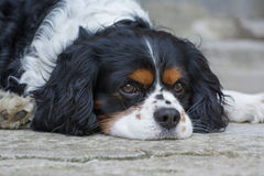 Cavalier Royalty Free Stock Images