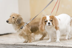 Cavalier and Miniature dachshund Royalty Free Stock Photo