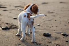 Cavalier na praia Imagens de Stock
