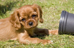 Cavalier puppy Stock Images