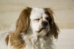 Cavalier que goza del sol imagen de archivo