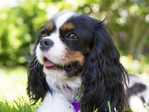 Cavalier spaniel Stock Photography