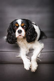 Cavalier spaniel Royalty Free Stock Images