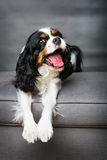 Cavalier spaniel Stock Photos