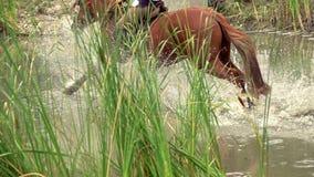 Cavaliere con acqua dell'incrocio del cavallo archivi video