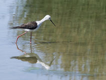 Cavaliere d'Italia. A Black Necked Stilt walking in the water Stock Image