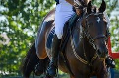 Cavaliere di salto del cavallo del primo piano di manifestazione equestre in calzoni alla cavallerizza Fotografia Stock