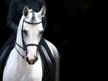 Cavaliere sull'Arabo bianco Immagini Stock Libere da Diritti