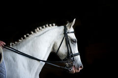 Cavaliere sull'Arabo bianco Fotografia Stock