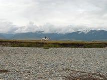 Cavalieri del ragazzo un cavallo bianco in valle della montagna di Altai Fotografia Stock