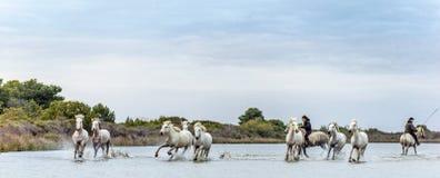 Cavalieri sui cavalli bianchi di Camargue che galoppano attraverso l'acqua Immagine Stock