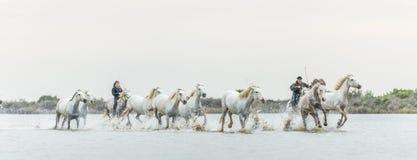 Cavalieri sui cavalli bianchi di Camargue che galoppano attraverso l'acqua Fotografia Stock
