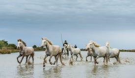 Cavalieri sui cavalli bianchi di Camargue che galoppano attraverso l'acqua Fotografie Stock