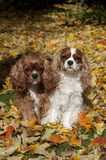 Cavaliers Autumn leaves Royalty Free Stock Photo