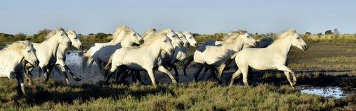 Cavaliers et troupeau de fonctionnement blanc de chevaux de Camargue Photos libres de droits