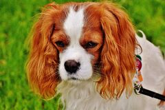 Cavaliers King Charles Spaniel Royalty Free Stock Photo