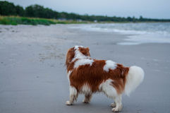 Cavalijer by the ocean Stock Photography