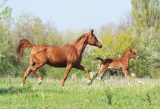 Cavalla araba e foal che funzionano sul pascolo Immagine Stock