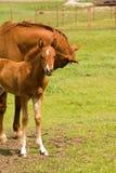 Cavalla con il foal immagini stock