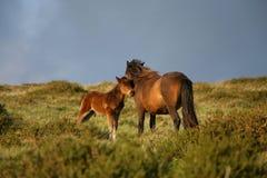 Cavalla con il foal Immagine Stock