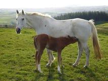 Cavalla con il foal Fotografie Stock