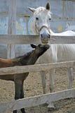 Cavalla con il foal Fotografia Stock