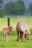 Cavalla con il foal che si leva in piedi in un prato Fotografie Stock Libere da Diritti
