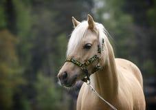Cavalla del cavallino di lingua gallese Fotografie Stock Libere da Diritti