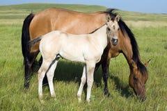 Cavalla del Dun e foal di grulla fotografia stock libera da diritti