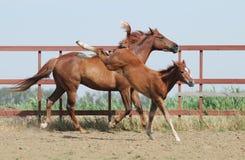 cavalla del foal della castagna Fotografia Stock