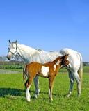 cavalla del foal nuova Fotografie Stock