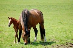 Cavalla e foal Fotografie Stock