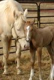 Cavalla e Foal Immagini Stock