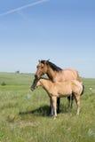 Cavalla e foal fotografia stock libera da diritti
