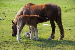 Cavalla e foal Fotografie Stock Libere da Diritti
