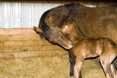 Cavalla e foal del cavallo quarto immagine stock