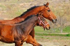 Cavalla e foal della baia Fotografia Stock