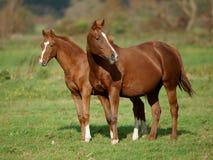 Cavalla e Foal della castagna Fotografie Stock Libere da Diritti