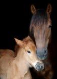 Cavalla e Foal della Suffolk Immagini Stock Libere da Diritti