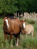 Cavalla e Foal di Lingua gallese Fotografia Stock
