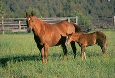 Cavalla e foal in un campo Fotografie Stock