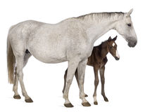 Cavalla ed il suo foal, 14 anni e vecchio 20 giorni Fotografia Stock Libera da Diritti