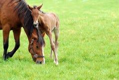 Cavalla ed il suo foal immagini stock