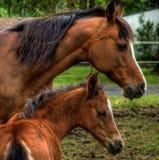 Cavalla ed il suo Foal immagine stock