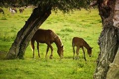 Cavalla ed il suo foal Fotografia Stock Libera da Diritti