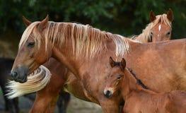 Cavalla ed il suo foal Fotografie Stock